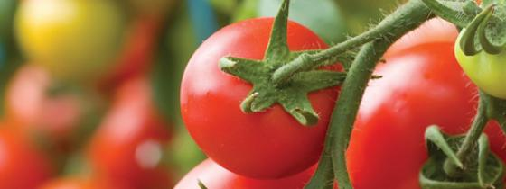 Tomatoes on plant - NSF Agriculture Auditing and Certification Services